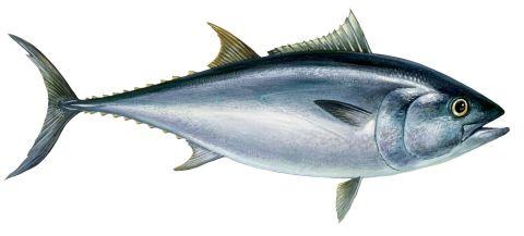 Tuňák obecný